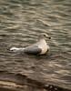 Enjoying the water (Terry Demczuk) Tags: toronto ontario canada bird water canon eos agua seagull pajaro xs lakeontario gaviota ringbilledgull terrydemczuk