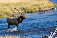 A man with a purpose... (John Cothron) Tags: summer usa male nature water animal creek 35mm canon river mammal stream outdoor wildlife sunny yellowstonenationalpark flowing wyoming elk gender wading freshwater madisonriver cervuscanadensis johncothron cothronphotography