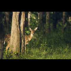 a bold and a beautiful deer... | Explored (VinothChandar) Tags: light sun india green nature beautiful look animal forest canon photography photo woods colorful photos vibrant wildlife hunting reserve deer hunter spotted tamilnadu mudhumalai anawesomeshot canonef100400l canoneos5dmarkii