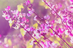 !! (mzna al.khaled) Tags: flowers light flower macro colors beautiful canon focus dof bokeh saudi arabia natrue bink 105mm   colorphotoaward  macrolife wonderfulworldofflowers  mzna