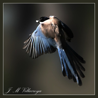 Azure-winged Magpie - IMG_3134Ts