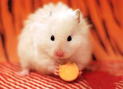"""I like Drops..."" ~ Kokolinka (pyza*) Tags: pet white cute girl animal monster mammal rodent furry critter ivory fluffy hamster pocket syrian hammie chomik kokolinka"
