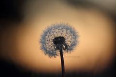dandy? you lyin'. (kaitonthekeys) Tags: grass lens dandelion seeds telephoto makeawish
