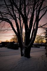 7P4W9739 (mikedingo57) Tags: tree redsky settingsun