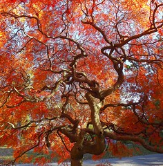 Fall Brilliance (Stanley Zimny) Tags: park autumn trees ny tree fall nature colors cemetery leaves automne catchycolors leaf maple colorful colours seasons natural fallcolors herbst autumncolors fourseasons autunno autumnal colorexplosion 4seasons tarrytown otono sleepyhallow sgis ahorn naturephotos jesien natureimages jesiennie 100commentgroup