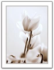 eleganza!! - ***explore!!*** (erman_53fotoclik) Tags: bw fiori bianconero ciclamini bestcapturesaoi mygearandme mygearandmepremium mygearandmebronze mygearandmesilver mygearandmegold