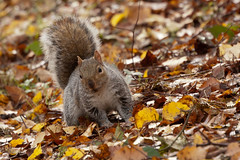 Jaunty Squirrel (unluckypixie) Tags: autumn leaves squirrel jaunty