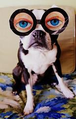 blue-eyed ivan (EllenJo) Tags: dog silly digital bostonterrier ivan canonrebel eyeballs 2012 digitalimage funnyglasses january6 dogwearingglasses ellenjo editedwithpicnik ellenjoroberts ldlportraits