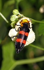 Blister Beetle (Mylabris aculata) (cowyeow) Tags: africa flower macro nature forest bug insect african wildlife beetle insects bugs blister uganda beetles redandblack pollinate pollin