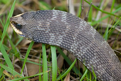 Eastern Hognose Snake (kaptainkory) Tags: usa spread ar reptile snake unitedstatesofamerica hood eastern defensive defense hognose hognosed snakeheterodonplatirhinos