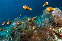 The Picknick (Lea's UW Photography) Tags: underwater clownfish maldives malediven anemonenfisch tokina1017mm canon7d lealee
