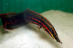 _MG_9640 (Ricardo Kobe) Tags: fish aquarium eel freshwater