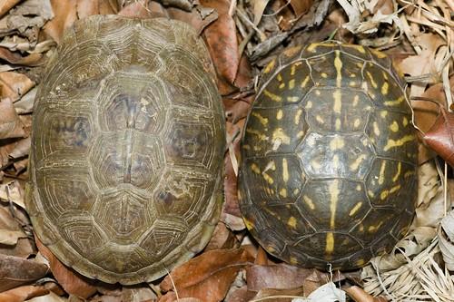 Herps Of Arkansas Ornate Box Turtle Terrapene Ornata