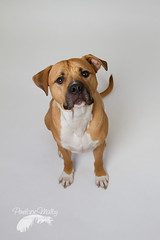 Bailey boy (Penelope Malby Photography) Tags: rescue dog mastiff canine bailey needahome mastiffcross staffycross tanandwhitedog epsomcaninerescue