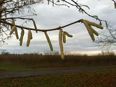 hazelnut catkin Lewis cultivar (growing hazelnuts) Tags: farming treeroots hazelnuts hazelnuttree plantingtrees nurserystock yearlingtree pollenizinghazelnuts