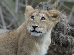 Lion cub (Samoyeddawn) Tags: flickrbigcats londonzoo12thjanuary2011