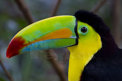 Keel-billed Toucan (Kryssia  ) Tags: bird nature animal arcoiris toucan costarica wildlife ave keelbilledtoucan ramphastossulfuratus tucn thegalaxy tucnpicoiris picoiris currnegro picoarcoiris