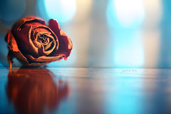 just a rose (erkua) Tags: cactus macro verde green home rose umbrella canon silver studio flash rosa estudio 100mm just una paraguas gel dorado sólo v5 casero speedlite strobist 60d 430exii yn460