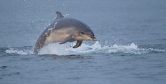BND Bottlenose dolphin (Tursiops truncatus) 07 Aug-10-42530.jpg (tim stenton) Tags: female mammal scotland tim dolphin highland breaching rosemarkie blackisle bnd morayfirth breach cetacean bottlenosedolphin tursiopstruncatus fortrose chanonrypoint bottlenosed delphinidae commonbottlenosedolphin kesslet odontocetes timstenton