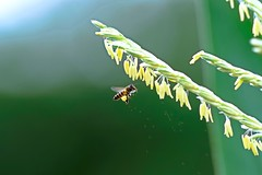 #850C6966- Saving the falling pollen (Zoemies...) Tags: nature corn wildlife bee pollen balikpapan kwplhkm23 zoemies