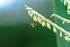 #850C6966- Saving the falling pollen (Zoemies...) Tags: nature corn wildlife bee pollen balikpapan kwplhkm23 zoemies