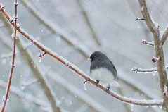 dark eyed junco in tree (loco's photos) Tags: winter snow cold bird season pentax freezing kr darkeyedjunco snowbird pentaxkr dal55300
