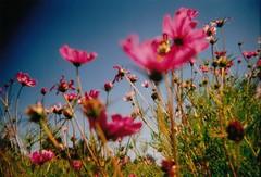 Summer Fantasies (Shanda Panda) Tags: pink flowers blue summer sky 120 film holga expired 2011 sooc universityofidahoarboretum