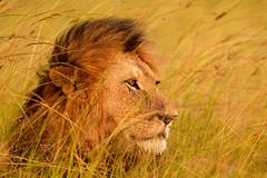 King of the Masai Mara, Kenya Africa (Stephen Oachs (ApertureAcademy.com)) Tags: africa kenya lion masaimara stephenoachs stephenoachscom apertureacademy apertureacademycom