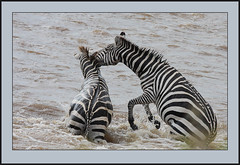 The Folly of zebras! (Rainbirder) Tags: masaimara grantszebra plainszebra equusquaggaboehmi rainbirder