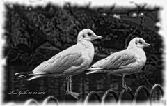 Two Gulls (bonksie61) Tags: bw white black fence gulls naturesbest aclass artphotography yabbadabbadoo beautifulshot flickrstars flickraward almostanything allin1 shining★star naturelimited ilovemypics theworldinflickr bwtheartofphotography royalgr☮up