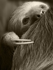 two toed sloth (gruntpig) Tags: twotoedsloth two toed sloth aviariosdelcaribe aviarios del caribe buttercup sanctuary costarica animal wild nature warm blooded adult fur