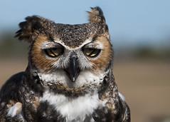 Horned Owl (dee_r) Tags: bird raptor owl hornedowl nikond300