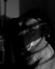 Day - 34 Dog Noir (Creative_Light_Photography) Tags: lighting camera shadow portrait dog white black film contrast project high key noir day huntsville low alabama lowkey 34 filmnoir 366 strobist dognoir noclsinfo removedfromclspool ldlnoir