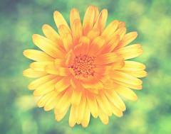 Little miss sunshine (cazadordesueos) Tags: daisy margarita rayosdesol littleflower macroview greatgarden bokehlicious petalsoflight bokehlicioso avistademacro unapequeaflor ungranjardin petalosdeluz