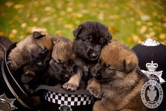 dog cute dogs club pups puppies cops helmet police professional litter handlers brave germanshepherd operation handler kennel policedog courageous trained skilled germanshepherdpuppy germanshepherdpuppies operational westmidlandspolice dogsunit policepuppy