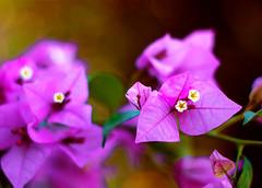 Belleza Silvestre (Carlossan MRD) Tags: flowers flores flower canon venezuela flor merida mrida 500d canon500d canonef50mmf18ii t1i canont1i
