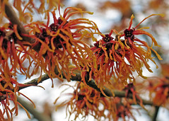 Witch Hazel 'Jelena' (gerry.bates) Tags: flowers canada tree canon flora blossom britishcolumbia hamamelis witchhazel blooming hamamelisxintermediajelena
