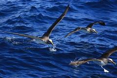 Buller's Albatross Thalassarche bulleri Forty-Fours Chatham Archipelago New Zealand