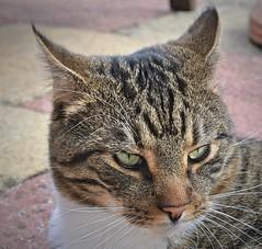 Purzel portrait (marotter) Tags: cats love cat puss katzen kater uploaded:by=flickrmobile flickriosapp:filter=nofilter