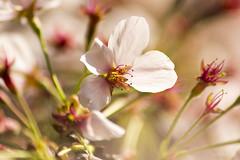 Sakura at Shinjuku Gyoen (Mokurenmei) Tags: park flower bird japan garden landscape tokyo shinjuku  cherryblossom  sakura    japon  shinjukugyoen      flordecerezo