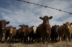DPP_6032 (Debbie Prediger Photography) Tags: ranch canada spring cattle cows farm beef young bluesky pasture alberta livestock calves cadogan heifers yearlings debbieprediger