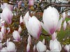 Magnolia Tree . (** Janets Photos **) Tags: uk flowers trees macro closeup magnolia myfavorite omg ilikeit peacetoall masterphotos photomemories takenwithlove beautifulasalways mastershot filmfree eperke flickrisslow mindigtopponalwaysontop goldenachievement takenwithhardwork lovelynewflickr pandaonflickr