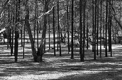 Woodland (Kaptain Kobold) Tags: wood trees bw lines vertical forest nationalpark backandwhite kaptainkobold weddinmountain