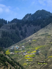 Contrast (hasan_awan78) Tags: pakistan sky mountains flower green nature grass contrast trekking landscape colours village adventure fields kaghan musa ka jacha musala mkm kpk musakamusala