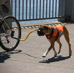 Tethered Dog (swong95765) Tags: dog bicycle ride control exercise walk run tether