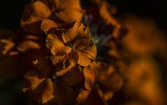 Burnt Orange - Erysimum May 2016 (GOR44Photographic@Gmail.com) Tags: orange flower macro canon petals bokeh 100mm erysimum 100mmf28 canon100mm 60d gor44
