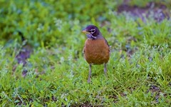Robin (Litratistica Images NYC) Tags: camera nyc newyorkcity usa newyork tree green bird nature prospectpark streetphotography chick birdsnest streetphotographer canon70200 canoneos5d earldolphy litratisticaimages cherrydolphy