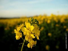 Evening sun in a rape field (P'sych) Tags: field yellow depthoffield eveninglight rapeseed
