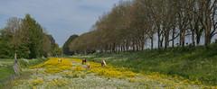 Spring along the Zeedijk (Pieter Mooij) Tags: horses spring dordrecht lente printemps paarden zeedijk