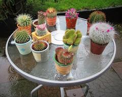 Rain rain go away ....... (Eire's Gorgeous Golden Gorse representative) Tags: cactus flower cacti garden table raining patiotable canonixus170 2016onephotoeachday